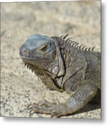 Fantastic Gray Iguana With Spines Along His Back Metal Print