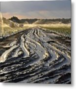 Farming Strawberries Metal Print