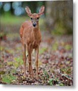 Fawn In Woods At Shiloh National Military Park Metal Print