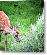 Fawn Visits Flowers Metal Print