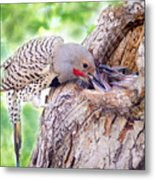 Feeding Babies In The Nest Metal Print
