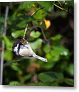 Feeding Black-capped Chickadee Metal Print