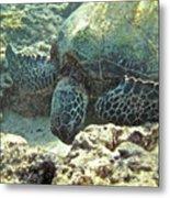Feeding Sea Turtle Metal Print