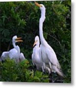 Feeding Time In The Great White Egret Rookery Metal Print