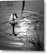 Feeding Trumpeter Swan In Black And White Metal Print