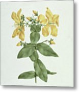 Feel-fetch - Hypericum Quartinianum Metal Print