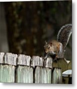 Feeling Squirrelly Metal Print