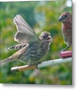 Female And Male Crossbills    August  Indiana Metal Print