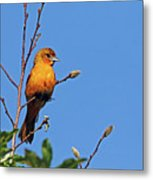 Female Baltimore Oriole Metal Print