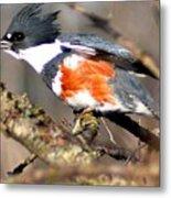 Female Belted Kingfisher Metal Print