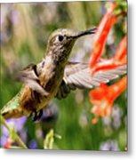 Female Broadtail Humingbird Metal Print