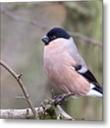 Female Bullfinch Metal Print