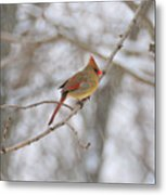 Female Cardinal In Winter Metal Print