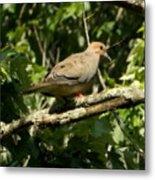 Female Dove Resting On Limb Metal Print