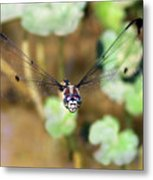Female Dragonfly Metal Print
