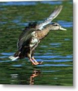 Female Duck Landing Metal Print