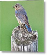 Female Eastern Bluebird 4479 Metal Print