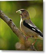 Female Evening Grosbeak - 365-55 Metal Print