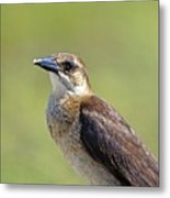 Female Grackle Metal Print