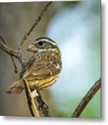 Female Grossbeak Looking Back Metal Print