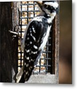 Female Hairy Woodpecker Metal Print