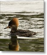 Female Hooded Merganser Metal Print
