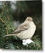 Female House Finch On Snow Metal Print