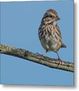 Female House Finch Resting Metal Print