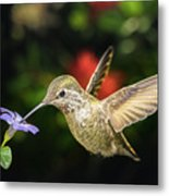 Female Hummingbird And A Small Blue Flower Left Angled View Metal Print