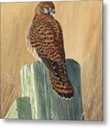 Female Kestrel Study Metal Print