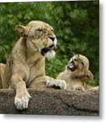 Momma Lion Over Cubs Attitude Metal Print