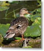 Female Mallard Among Lily Pads Metal Print