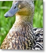 Female Mallard Duck Close Up Metal Print