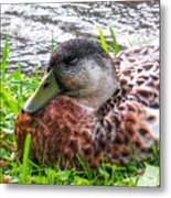 Female Mallard Duck Resting 4 Metal Print