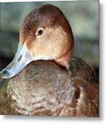 Female Redhead Duck Metal Print