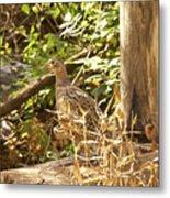 Female Ring-necked Pheasant - Phasianus Colchicus Metal Print
