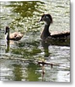 Female Wood Duck With Chick Metal Print