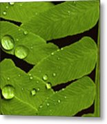Fern Close-up With Water Droplets  Metal Print