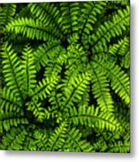Ferns After The Rain Metal Print