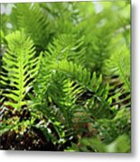 Ferns Of The Forest Floor Metal Print