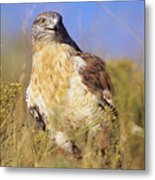 Feruginous Hawk Metal Print