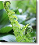Fiddleback Fern Plant Unfurling In Springtime Metal Print