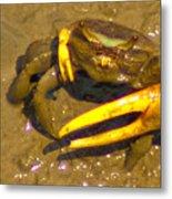 Fiddler Crab Pano Metal Print