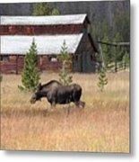 Field Moose Metal Print