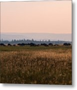 Field Of American Bison  Metal Print
