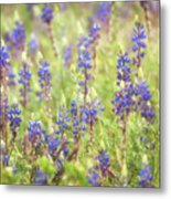 Field Of Blue Lupines  Metal Print