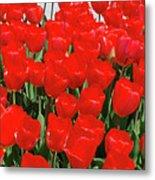 Field Of Brilliant Red Tulip Flowers In A Garden Metal Print