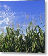 Field Of Corn Against A Clear Blue Sky Metal Print