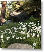 Field Of Daisies In Tahoe Metal Print