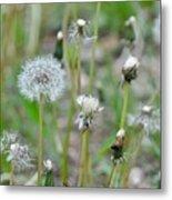 Dandelions In Seed Metal Print